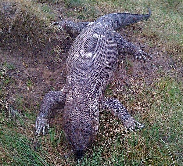 Foto: Prawie jak krokodyl...