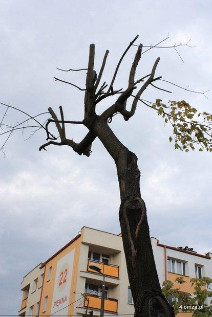 """Foto: """"Rzeźnicy"""" drzew w Łomży"""