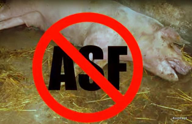 Foto: ASF u świń w Mocarzach