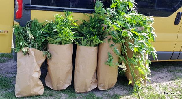Foto: Kolejne plantacje marihuany koło Kolna