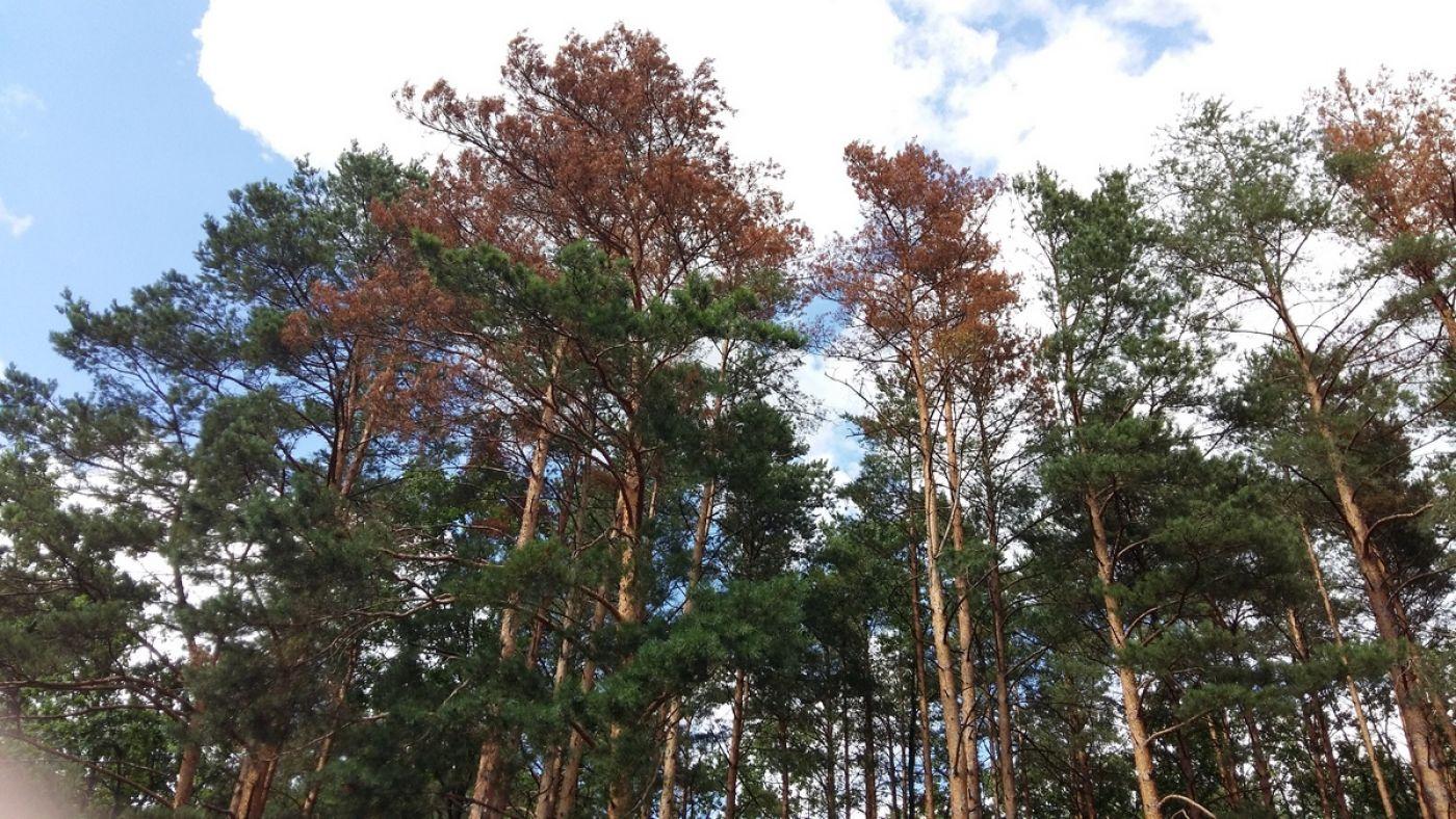 Foto: Schną drzewa... także w Biebrzańskim Parku Narodowym